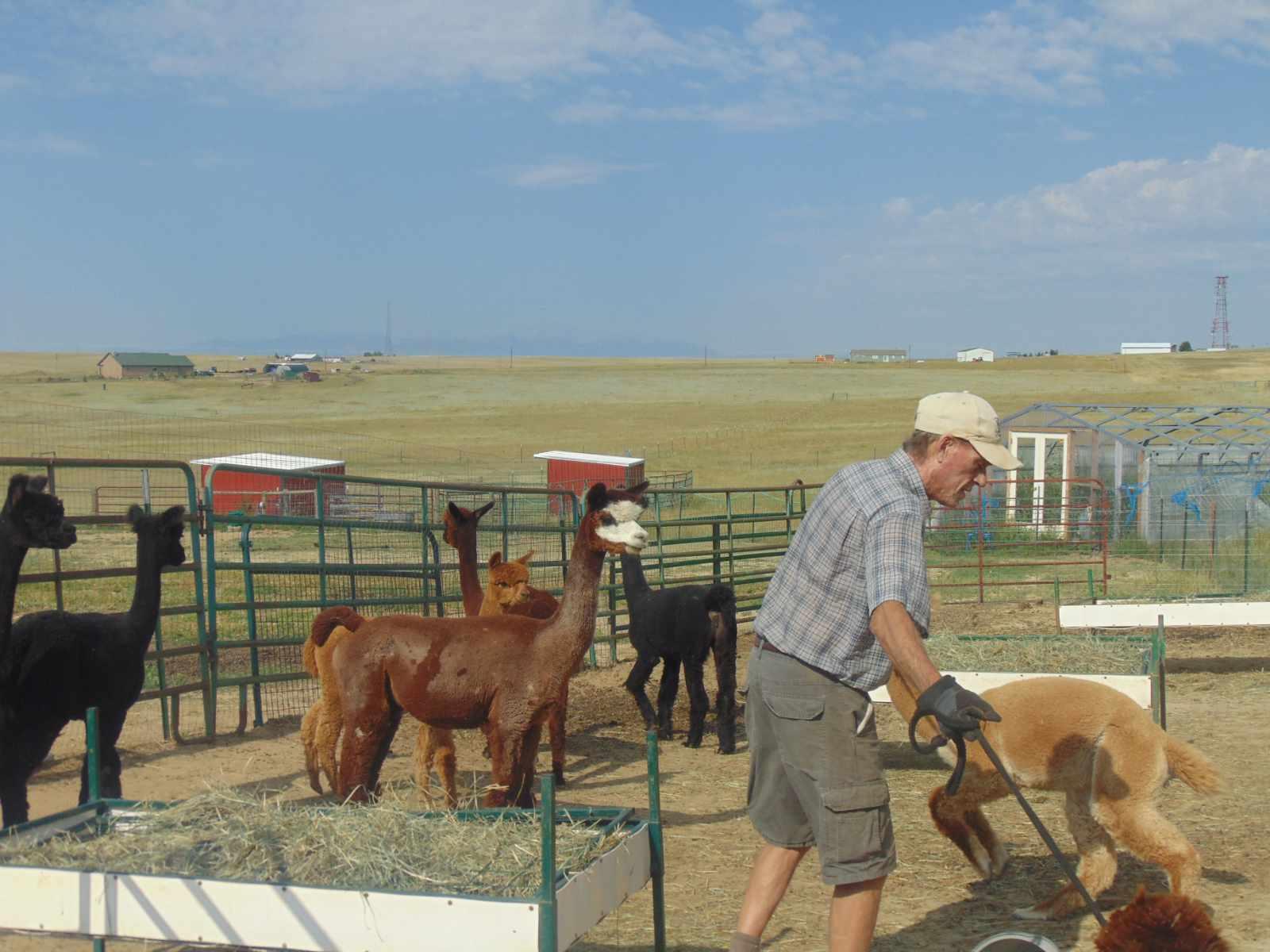 first halter lesson alpaca