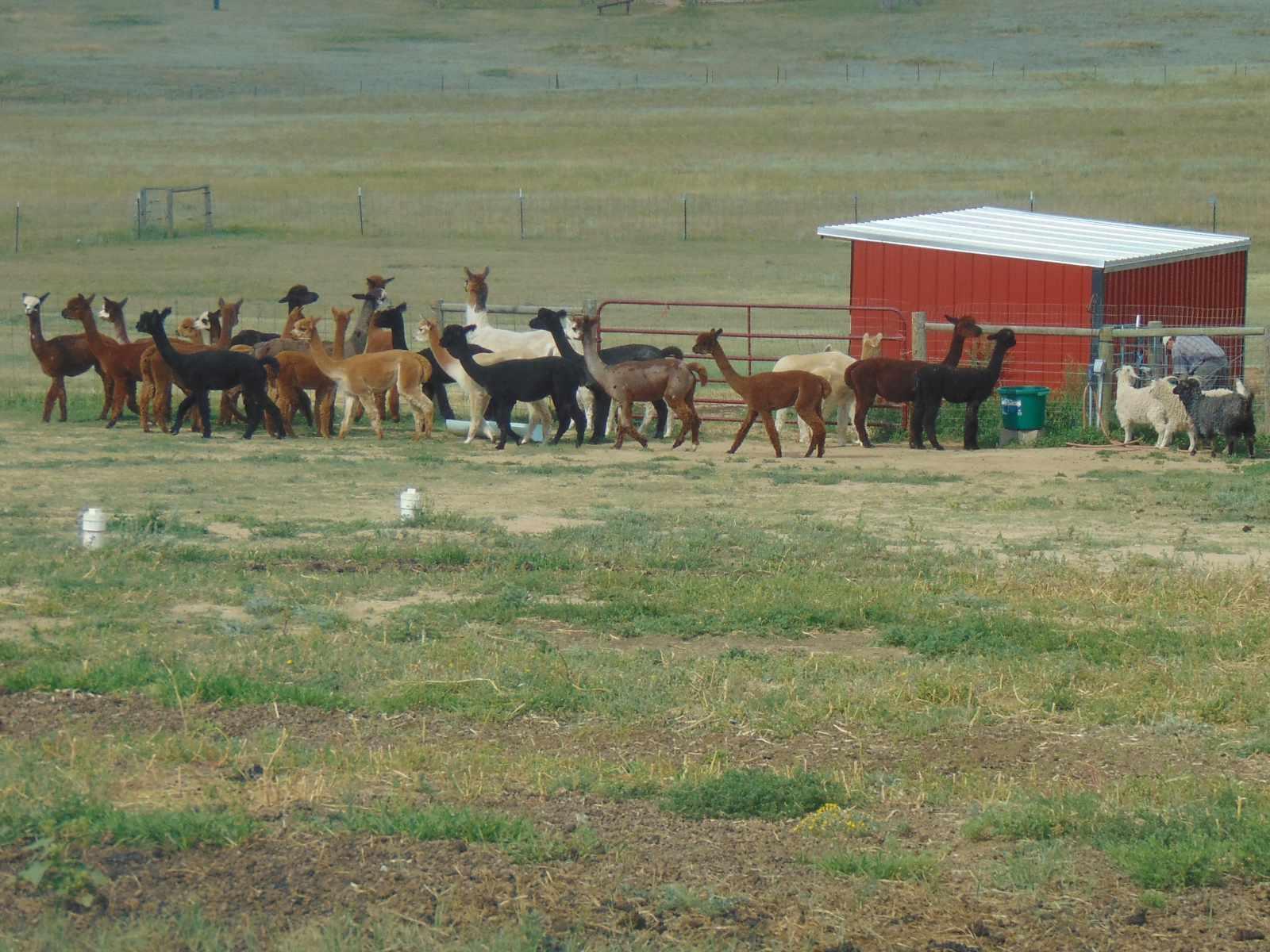 Alpacas, Llamas & Angora goats